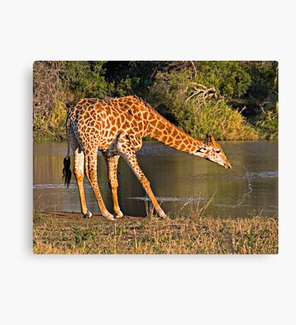 Giraffe Drinking Canvas Print