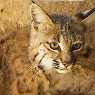 Bobcat by gcampbell