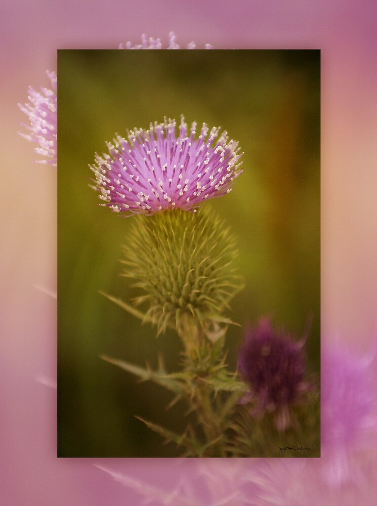 Scotch Thistle by Holly Kempe