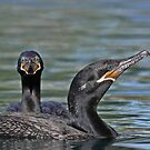 Neotropic Cormorants by tomryan