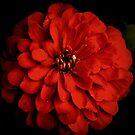 Red Zinnia On Black by Lynda Anne Williams