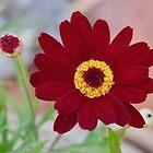 Red Daisy Bloom by Lynda Anne Williams