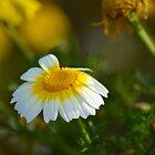 Daisy by Lynda Anne Williams