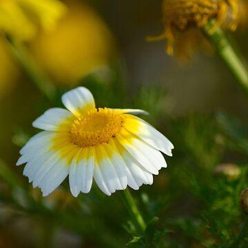 Daisy by LyndaAnneArt