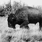 Lone Buffalo  by Dennis Wells