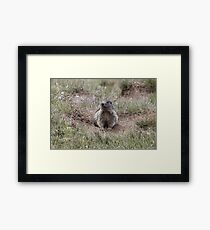 Alpine marmot (Marmota marmota) Framed Print