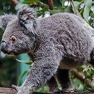 Koala by Michelle Golden