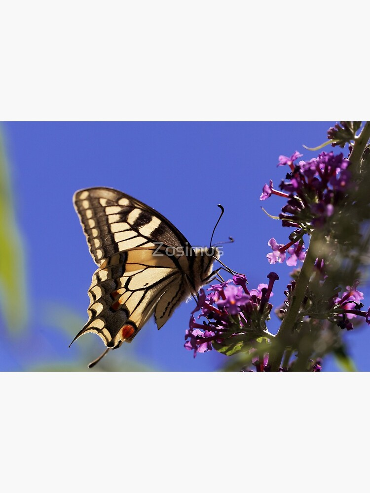 The Common Yellow Swallowtail Butterfly Stock Image - Image of ... | 1000x750