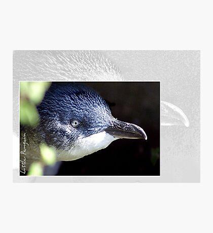 Australian Birdlife - Little Penguin Photographic Print