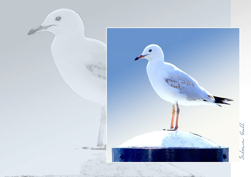 Australian Birdlife - Silver Gull by Holly Kempe