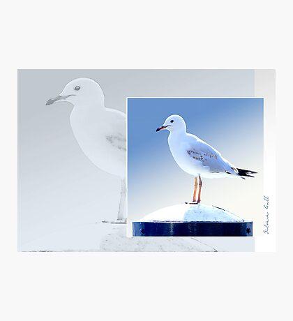 Australian Birdlife - Silver Gull Photographic Print