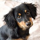 5 Months Dachshund-mix by Monica Carvalho (mofart_photomontages)