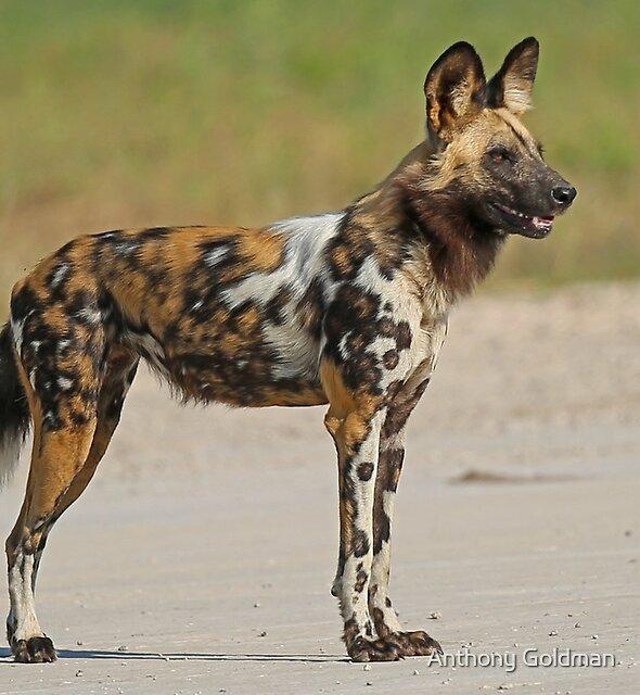 Painted Dog! by Anthony Goldman