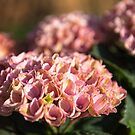 Antique Pink Hydrangea by Tracy Riddell