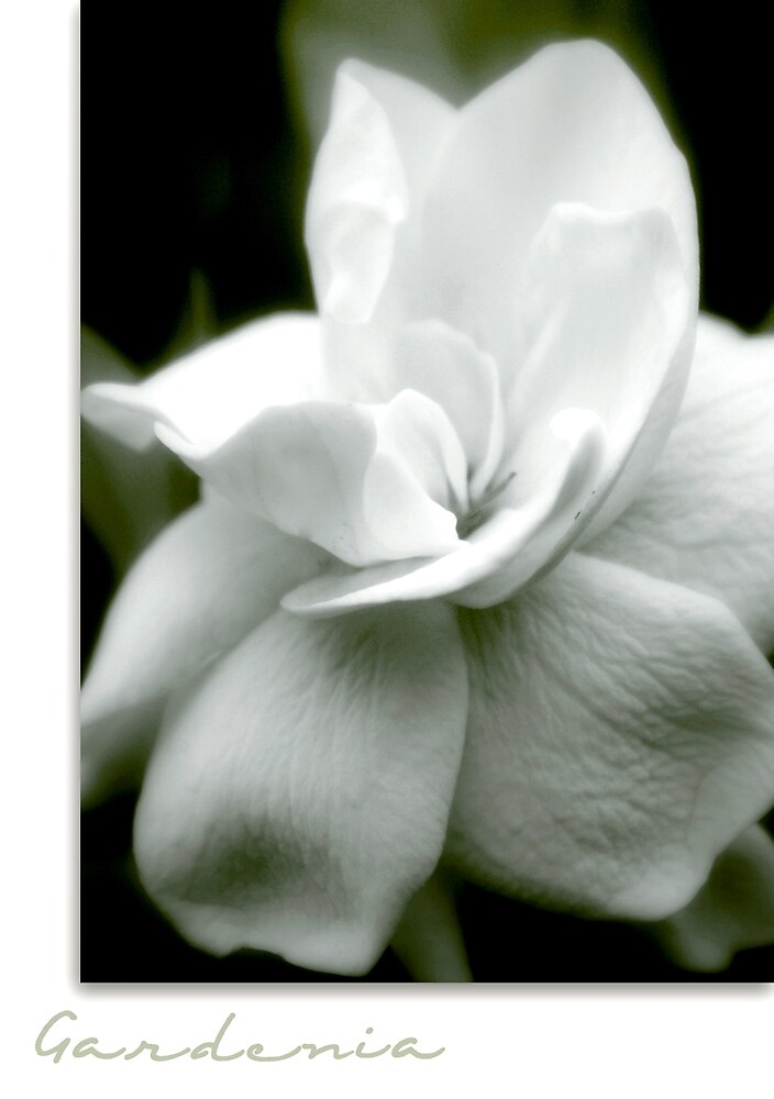 Gardenia by Holly Kempe