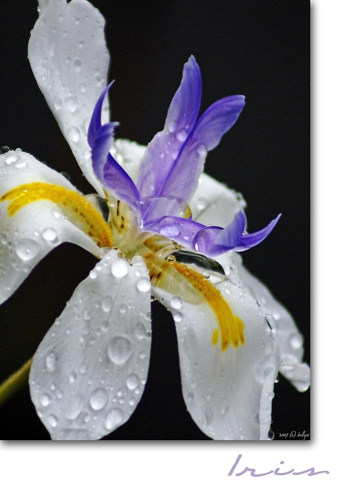 African Iris by Holly Kempe
