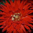 Ruby Red Dahlia by Karen Ashenberner