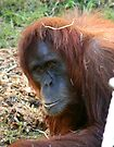 Orangutan by Leanne Allen