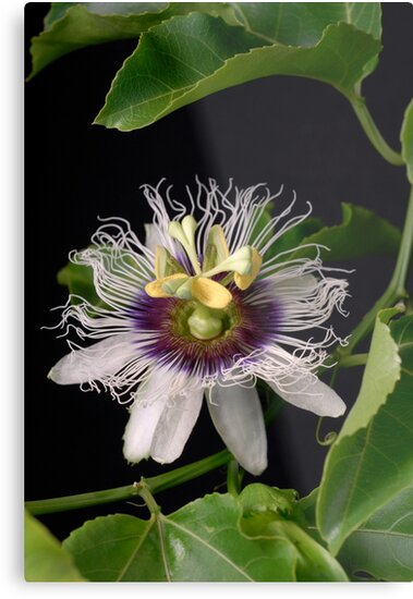 Passionflower by Tennille Dunne