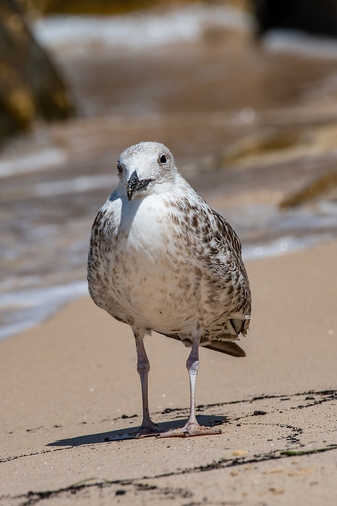 Detailed portrait of  Juvenile Yellow-legged gull (larus michahellis) by JPopov