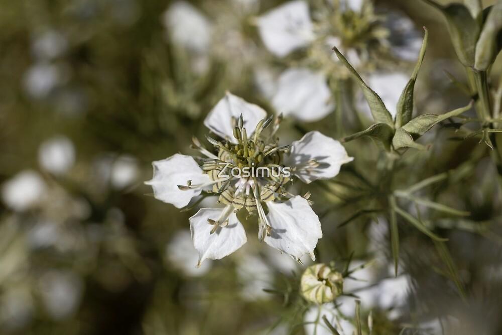 Flower of the Nigella species Nigella arvensis by Zosimus