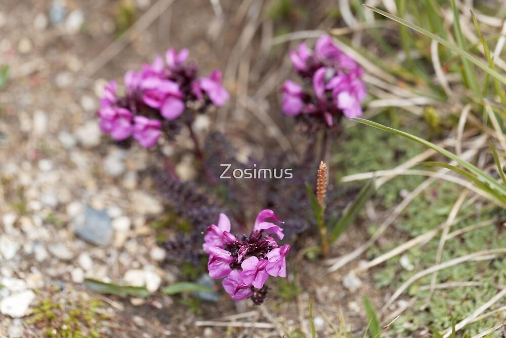 The parasitic flower Pedicularis asplenifoli by Zosimus