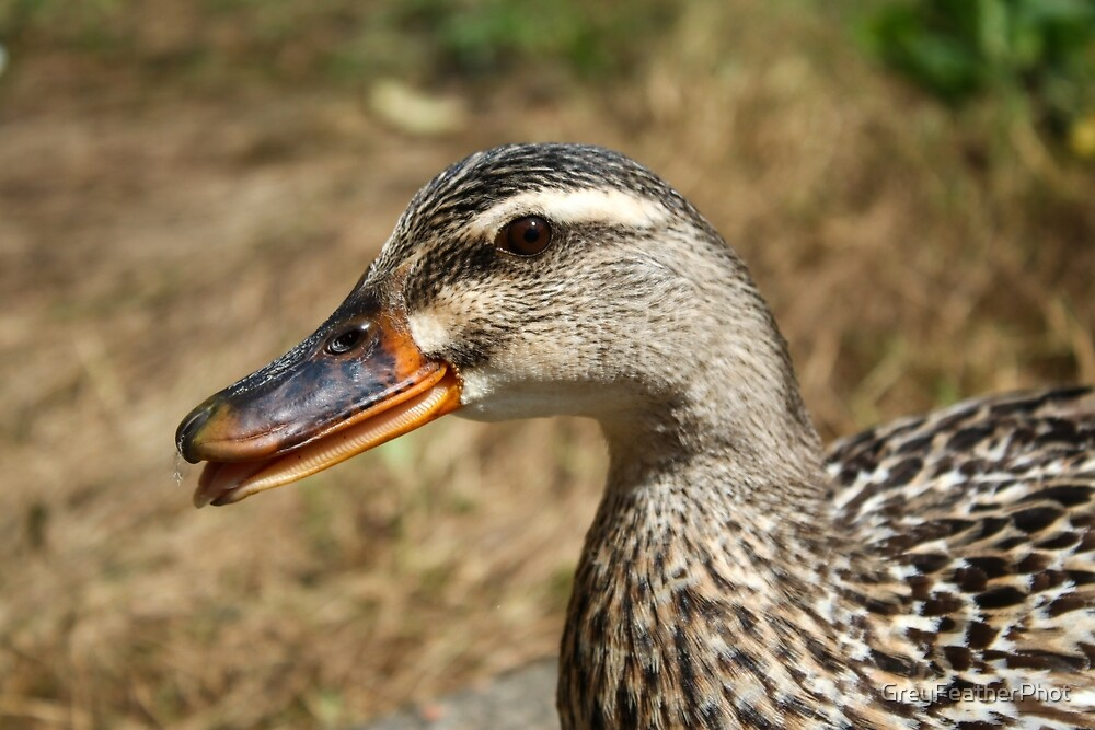 Mallard female by GreyFeatherPhot