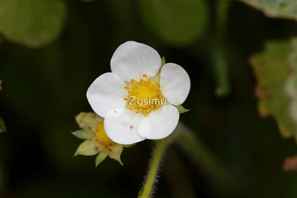 Flower of a garden strawberry by Zosimus
