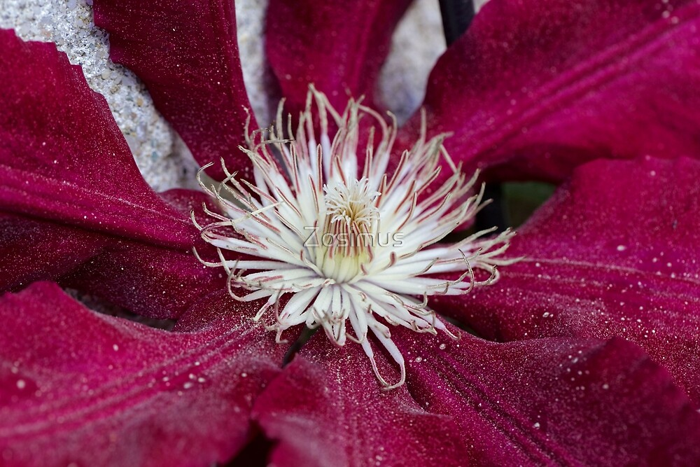 Macro photo of a red clematis flower by Zosimus