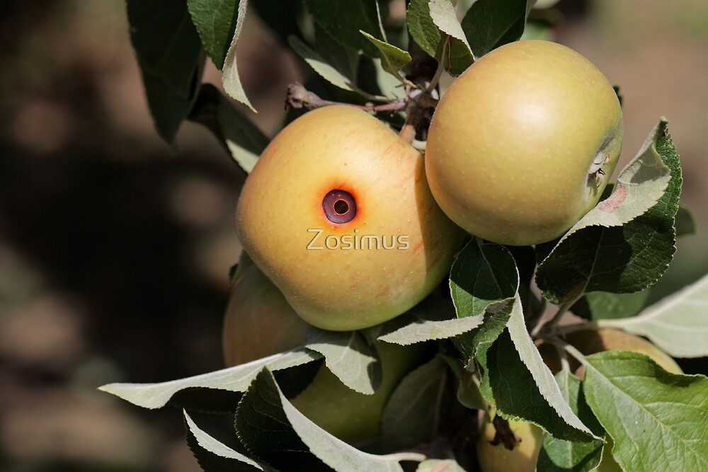 Boring trace of a codling moth (Cydia pomonella) in an apple by Zosimus
