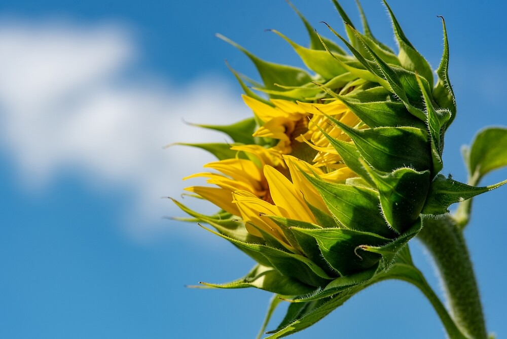 Close-up view of a young sunflowers  over cloudy sky by JPopov