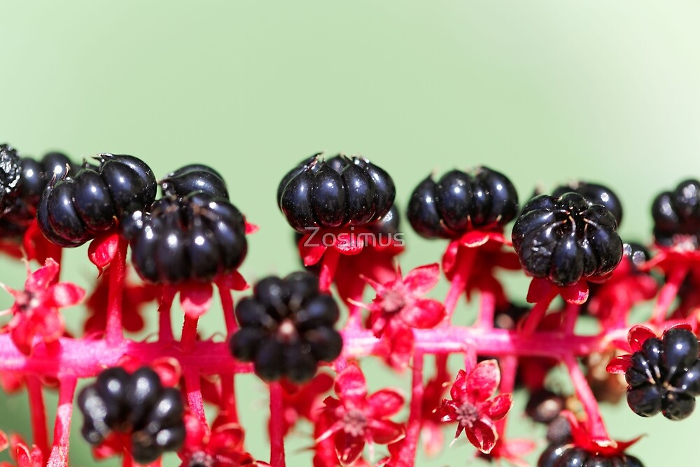 Indian poke berries (Phytolacca acinosa) by Zosimus