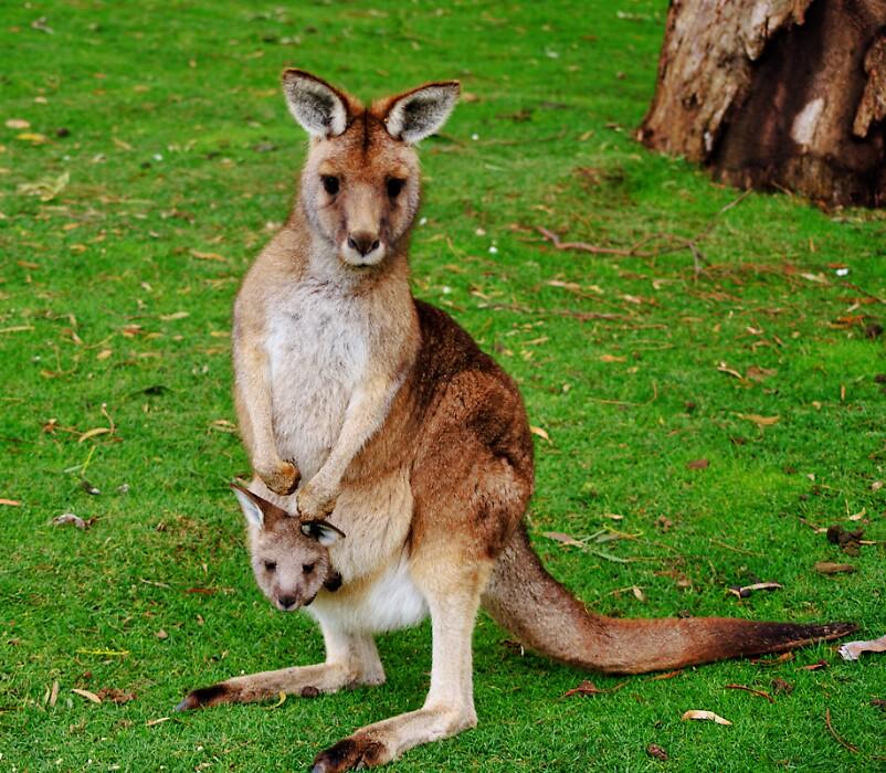 mama and baby kangaroo - photo #6