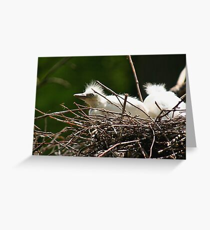 Cattle Egret Chick in Nest Greeting Card
