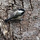 Black-Capped Chickadee (2010 Calendar Sep) by Wolf Read