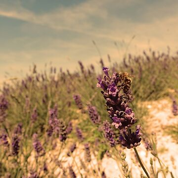 First Lavender by FrauleinimStall