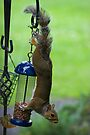 Upside-down Squirrel by Nigel Bangert