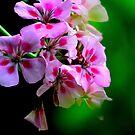 Interspecific Geranium by John Schneider