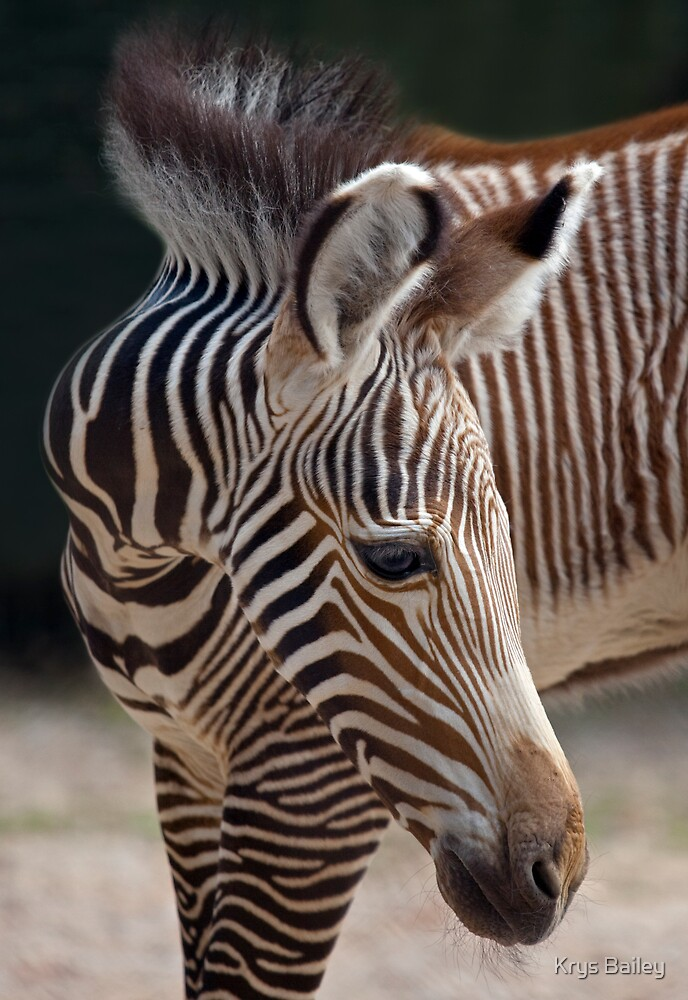 Baby Zebra by Krys Bailey
