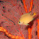 Dark-fin Chromis, Papua New Guinea by Erik Schlogl