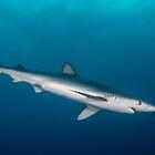 Blue Shark, South Africa by Erik Schlogl