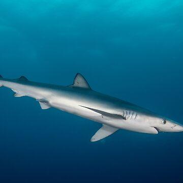 Blue Shark, South Africa by eschlogl
