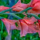 Gladiolus with water drops from the back by Bryan D. Spellman