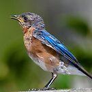 Little Daddy Bluebird by Bonnie T.  Barry