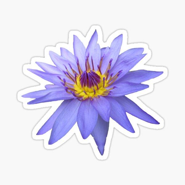 wunderschöne, blaue Seerose, Blume, Blüte, Sommer Sticker
