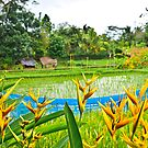 Bali Rice Paddy by Kate Miner