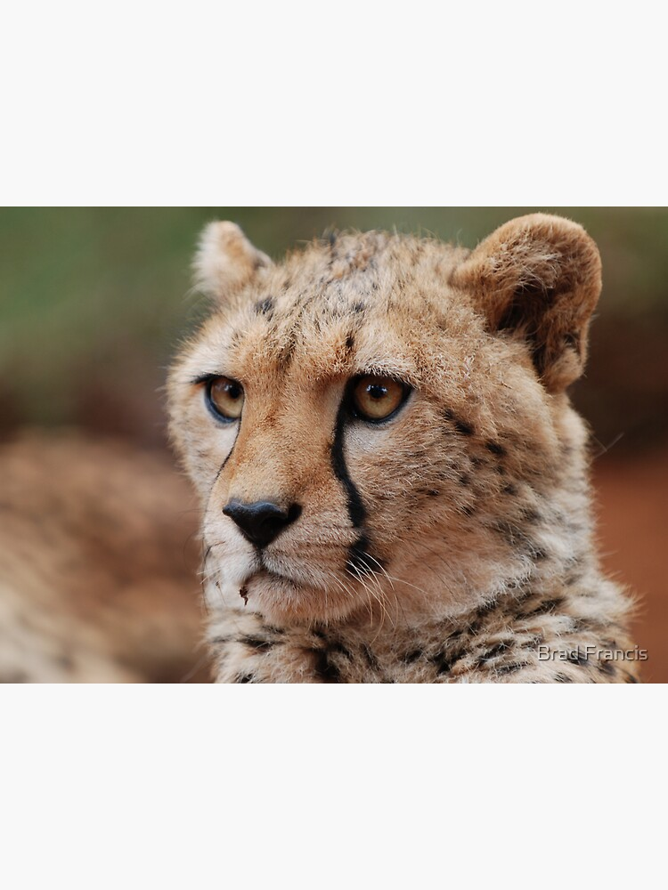 Young male Cheetah - Kenya by bfra