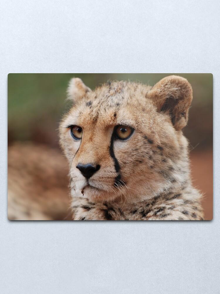 Alternate view of Young male Cheetah - Kenya Metal Print