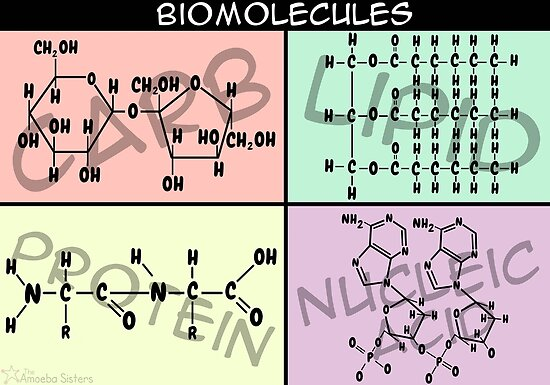 Biomolecule Structure Poster by amoebasisters