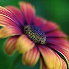 Daisy Blur by Deborah  Benoit